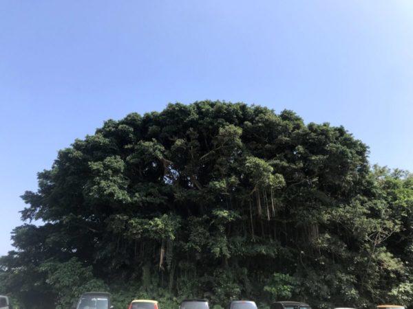 【神々しさ満点】幸せを呼ぶ木ガジュマルの大樹よりパワー充電