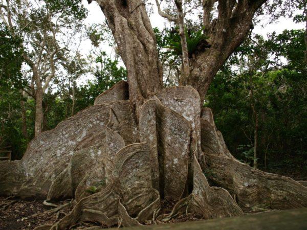 西表島サキシマスオウの木