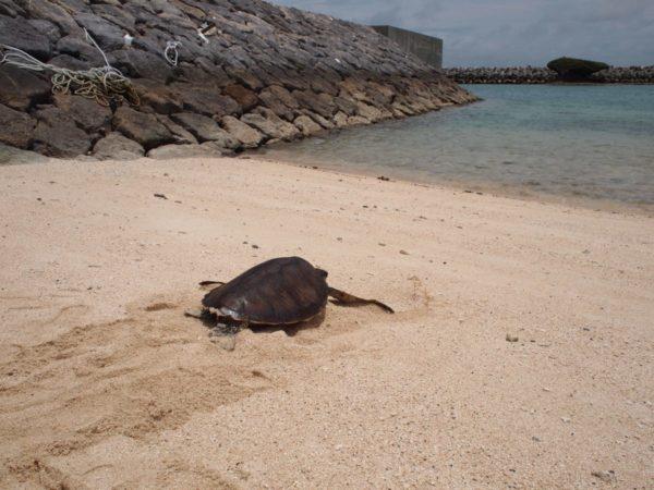 子連れ旅【ウミガメ放流体験】石垣島離島黒島で感動ウミガメ勉強会