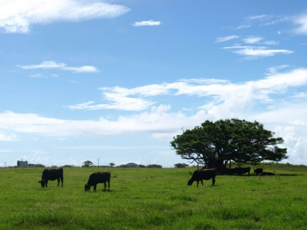 黒島牧草地